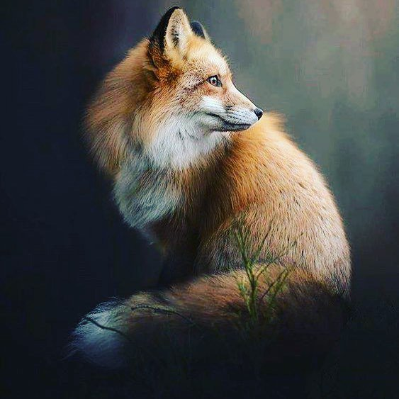 Sors Immanis On Twitter My Spirit Animal Is The Fox Whats