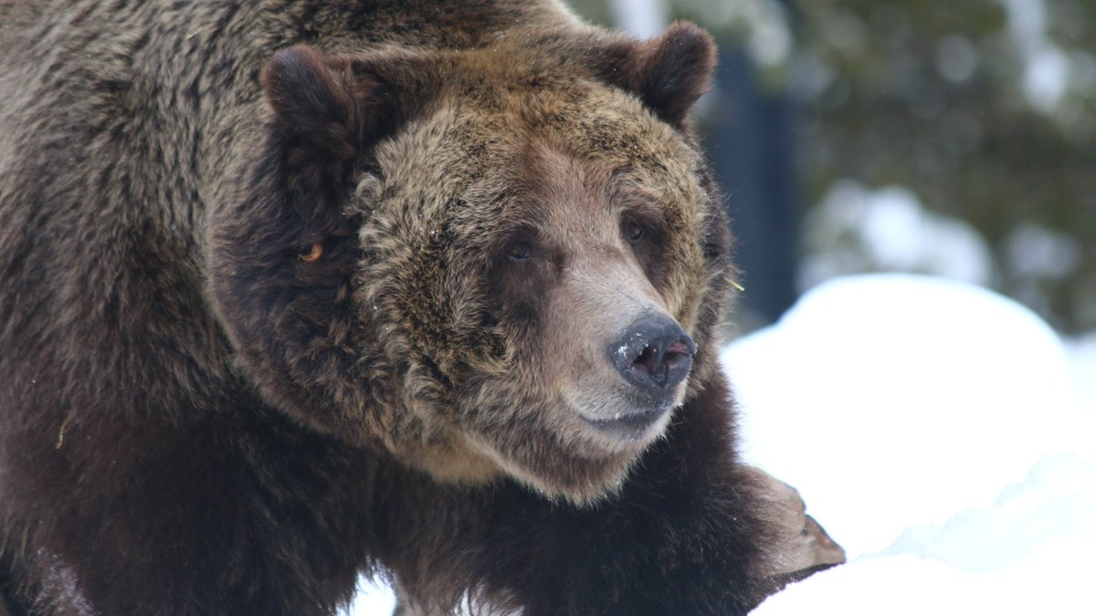 grizzly bear essay Reintroduction of grizzly essays grizzly bears (ursus arctos horribilis) are important figures in america's wildlife heritage for many people, the grizzly embodies the spirit of the american wilderness.