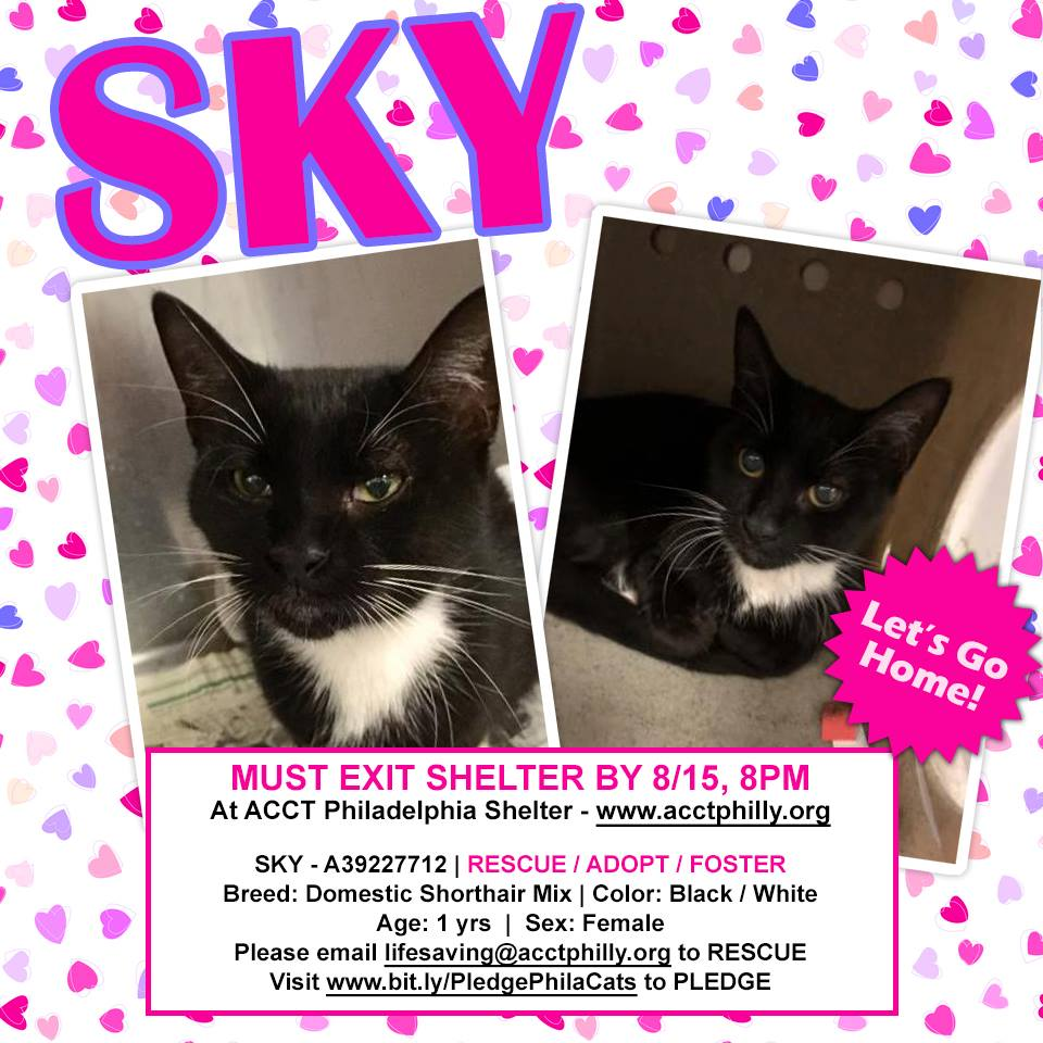 Sweet &amp; spunky tuxie girl kitty &quot;Sky&quot; in Philly PA dumped &amp; now has the shelter cold &amp; looking at death today 08/15! Are you her savior? Please email to save lifesaving@acctphilly.org or Call 267-385-3800 now! *To pledge  https:// bit.ly/PledgePhilaCats  &nbsp;   LAST CALL!   https://www. facebook.com/photo.php?fbid =409178412942835&amp;set=pcb.409178599609483&amp;type=3&amp;theater &nbsp; … <br>http://pic.twitter.com/03E2gmmGGf