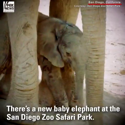 The elephant herd at the San Diego Zoo Safari Park has expanded with the birth of a baby boy. https://t.co/o8dJ90w5eq