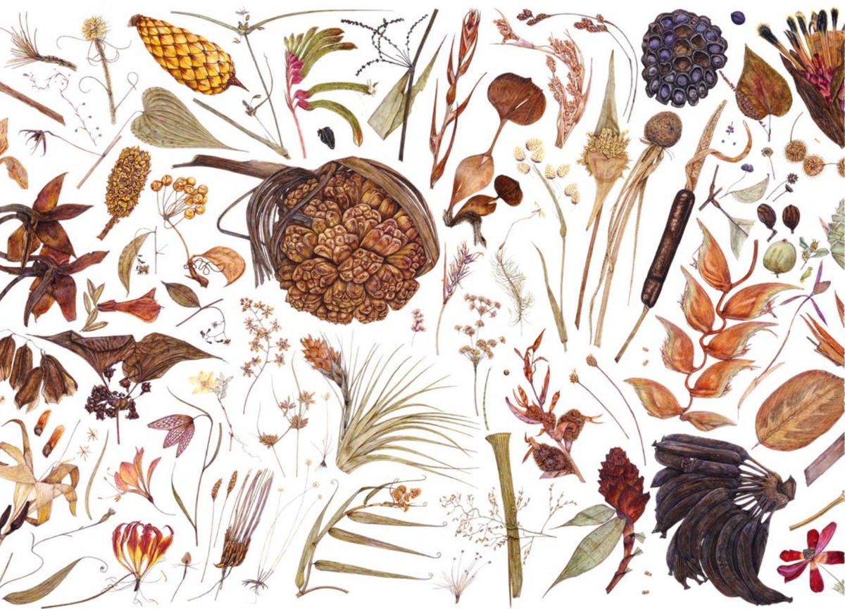 Not often one sees a PhD as beautiful as this - Rachel Pedder-Smith on botanical illustration (her own work) @KewScience. It is also an exceptionally interesting read:  http:// researchonline.rca.ac.uk/430/  &nbsp;   #BotanicalArt #Herbarium #SciArt <br>http://pic.twitter.com/bhEs9pROZ1