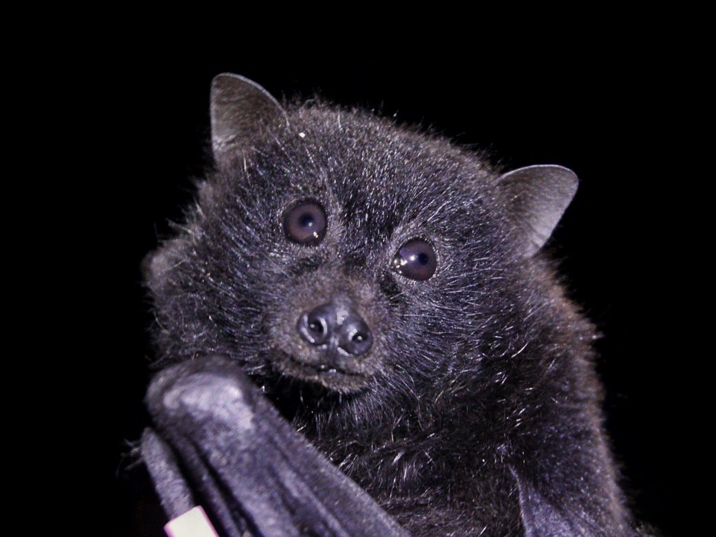 Pteropus natalis, the critically endangered Christmas Island flying fox, is the last native mammal on the Island. Studying and better understanding these bats is vital to their conservation, and I&#39;m lucky to be a part of it! #volunteer #fieldwork #bats #christmasisland #flyingfox<br>http://pic.twitter.com/T1G95dYyZ2