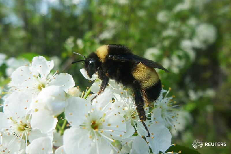 Genome points to inbreeding and disease behind bumblebee decline - research https://t.co/fk6XDKRtJl https://t.co/UPhuTbQnh4