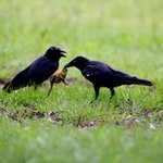 Image for the Tweet beginning: Scientists find crows in Australia