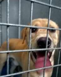 FOUND 15/8/18: Ref 168/28 Male Golden Labrador Retriever #Coventry, Norberto Way, CV2 Adult. Now with Coventry Dog Warden - office hrs 07976 736957, out of hours 02476 832208 <br>http://pic.twitter.com/gYR3imdZ75