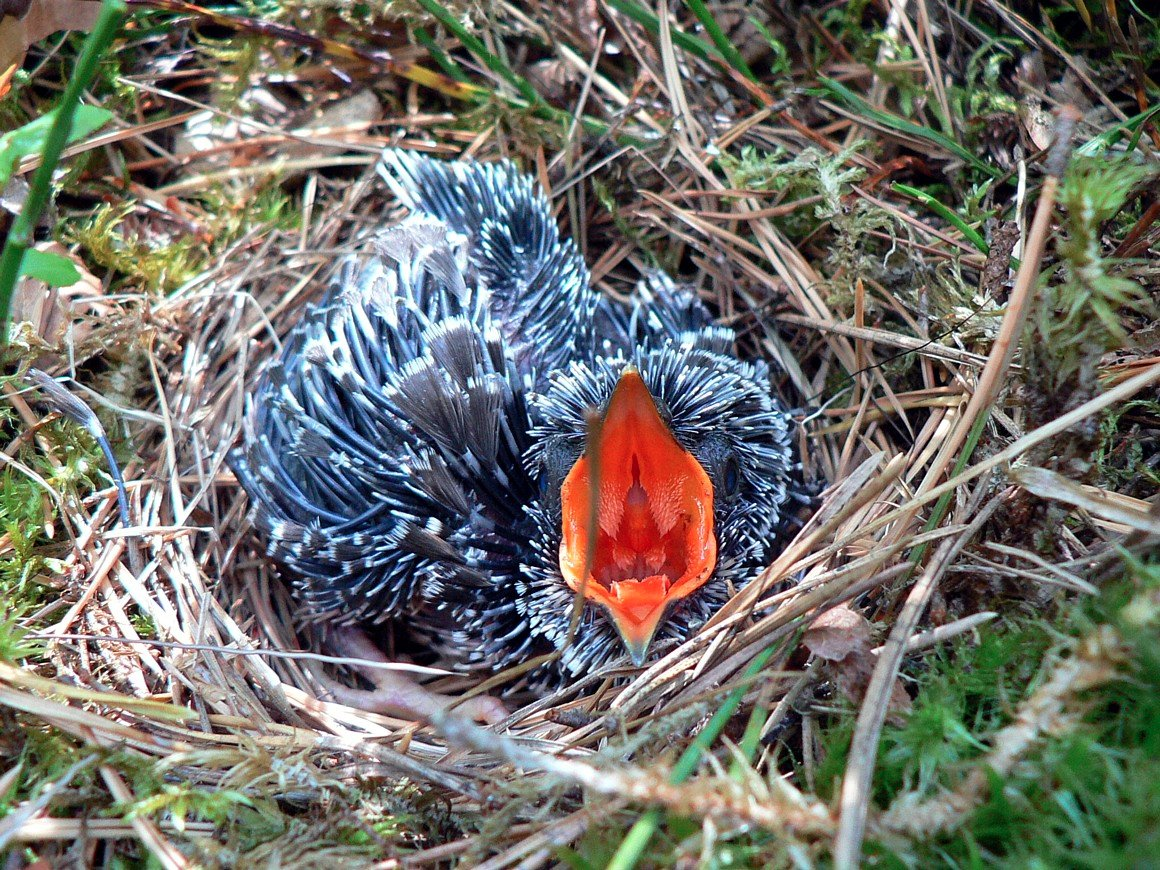 New student guest post at the Parasite of the Day blog!  This one was written by Simone Dutt - it is about why cuckoo eggs have thicker shells + hatch earlier than those of their hosts   http:// dailyparasite.blogspot.com/2018/08/cuculu s-canorus.html &nbsp; … <br>http://pic.twitter.com/XIPqylJWkG