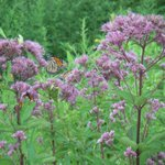 Image for the Tweet beginning: At least five monarch butterflies,
