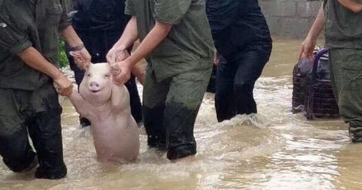 홍수에서 구조된 돼지는 미소를 지었다(사진) https://t.co/Y466ew5yt4