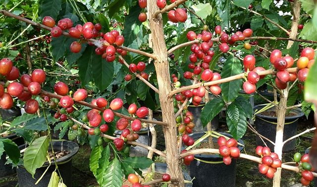 알고보면 우리나라도 '커피 생산국'...들어는 봤나 '고흥커피'  농가 15곳서 연간 30여톤 수확  https://t.co/vy8tyLdP5r
