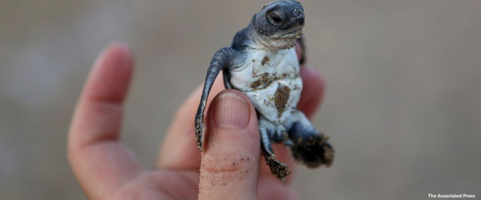 After being hunted to near extinction in the first half of the last century, the Mediterranean&#39;s endangered Loggerhead and Green turtles are making a comeback thanks to pioneering conservation efforts, Cypriot marine biologists say.  https:// abcn.ws/2BjzQUY  &nbsp;  <br>http://pic.twitter.com/iIDQt4d0j1