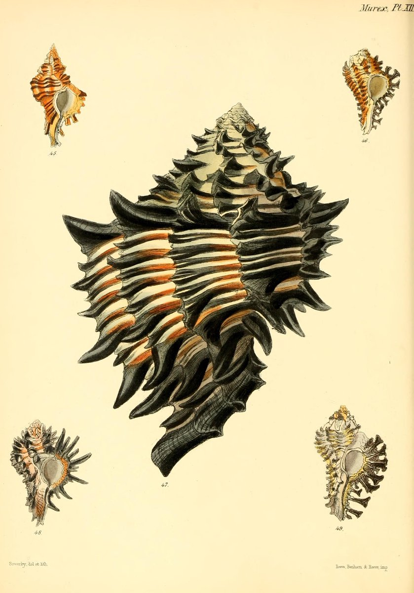 Murex Sea Snail #Shells. #SciArt by G. B. Sowerby for Lovell Augustus Reeve, Conchologia Iconica, Vol. 3 (1845). View more in @BioDivLibrary with thanks to @SILibraries digitizing:  http:// ow.ly/VMwP309BhQ4  &nbsp;  <br>http://pic.twitter.com/FN4c7Ug4OF