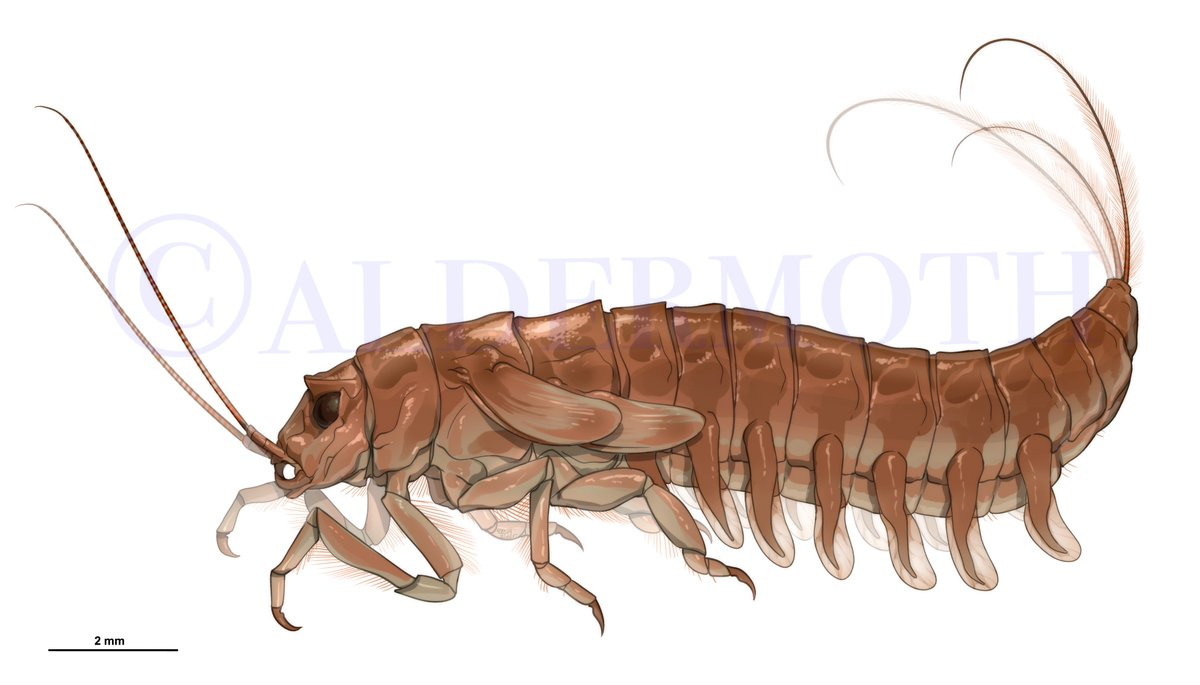 My first attempt at a fossil reconstruction! #FossilFriday A Coxoplectoptera larva, a fossil member of the stem group of mayflies from the Lower Cretaceous.  #sciart #scicomm #entomology #paleoart (thanks to @swarmofthought ) Reference source:  https://www. semanticscholar.org/paper/Coxoplec toptera-%2C-a-new-fossil-order-of-Palaeoptera-Staniczek-Bechly/d1857ffb04cba3ca1e6368d8d272a7c5bd18a415 &nbsp; … <br>http://pic.twitter.com/e5uLabdCVA