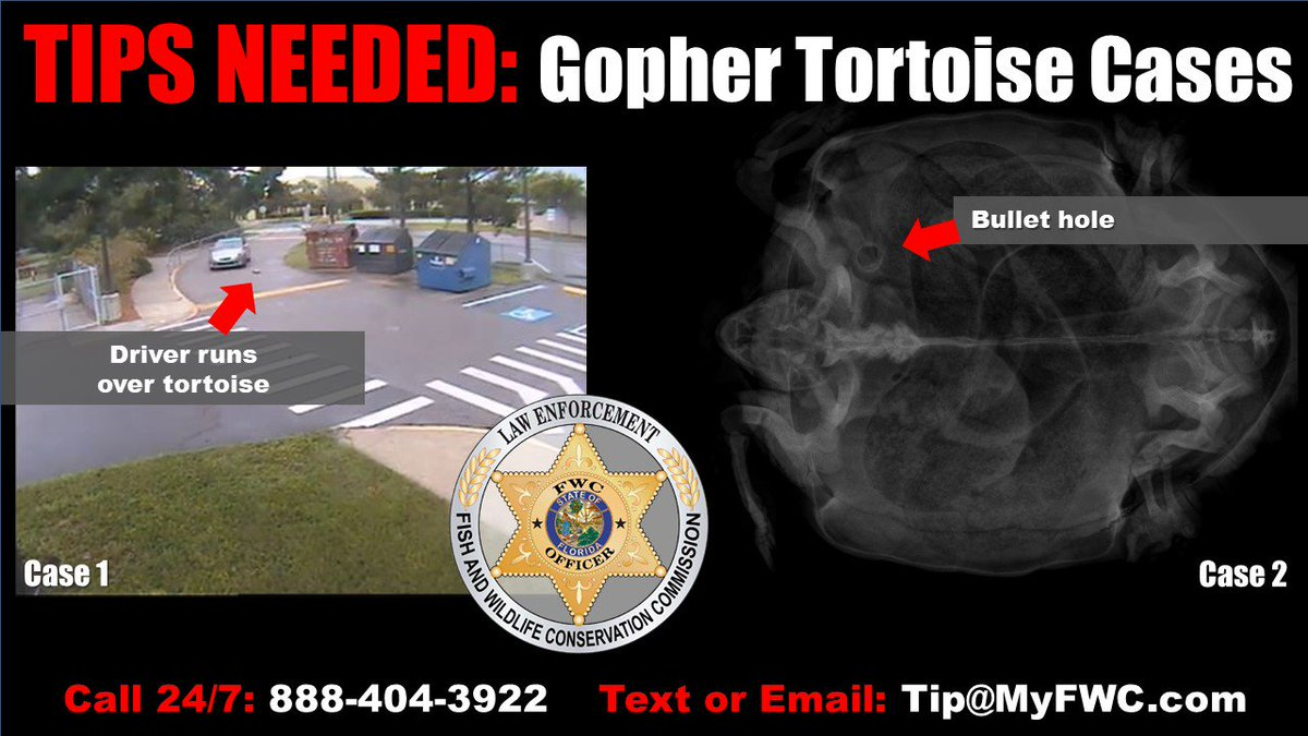 Tips needed in deaths of two gopher tortoise cases in different areas of #Florida:  http:// ow.ly/Mu0v30lrD5m  &nbsp;    Got tip ? Call our Wildlife Alert Hotline: 888-404-3922  #news #LawEnforcement <br>http://pic.twitter.com/2jewNgnjNa