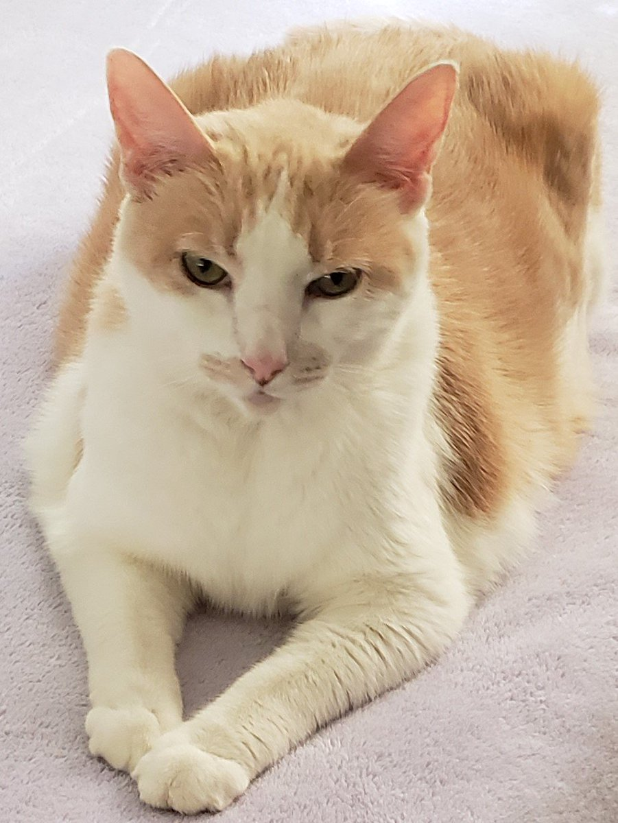 @KellieCowan @HumaneTampaBay My Minou has one as well. Isnt he adorable? Take that cat, home.
