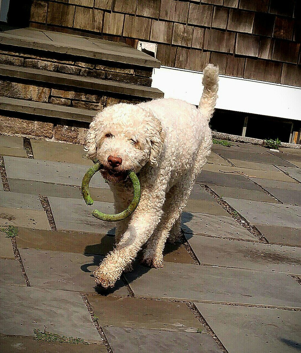 Theo&#39;s pup tip of the day: When you feel like you can&#39;t live without that new toy - That&#39;s just Hypnosis By Advertising. The antidote is to dig out an old toy. Old toys give you twice the pleasure: The fun of playing with it now and the memories of all the fun you had before. <br>http://pic.twitter.com/V6Str3cDVv