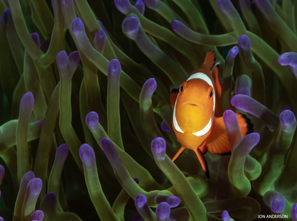 #DYK all clownfish are born male! I can become female later, if I want, to become the dominant female in my school.  http:// ow.ly/LXV030loW2q  &nbsp;   #FishyFriday<br>http://pic.twitter.com/N0SCxtDym8