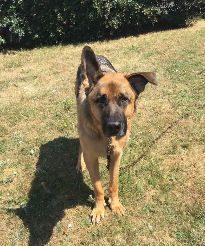This big handsome lad is 3yr old Diego and he can live with kids but can be selective with some #dogs, those he likes he will happily play with  #GermanShepherd  #Somerset  http:// gsrelite.co.uk/diego/  &nbsp;  <br>http://pic.twitter.com/8SIUNz73x0