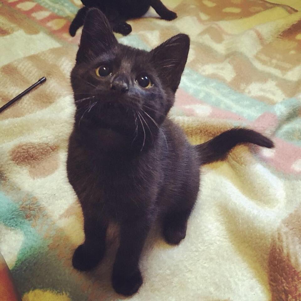 Happy #BlackCatAppreciationDay  These #cats get overlooked way too often. Come see ours for #cleartheshelters tomorrow. Adoption fees are reduced for #kittens and waived for adults! Visit our website at  http://www. cattalesinc.org  &nbsp;   to get pre approved or contact info@cattalesinc.org<br>http://pic.twitter.com/fOPzWOO88Y