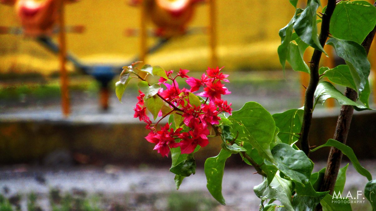 Flower in Monsoon :D #red #flowers #monsoon #monsoonseason #rainydays #rainyday #leaves #ground #raindrop #likeforfollow #like4likes #followforfollowback #follow4like<br>http://pic.twitter.com/FxTbXL9rfQ