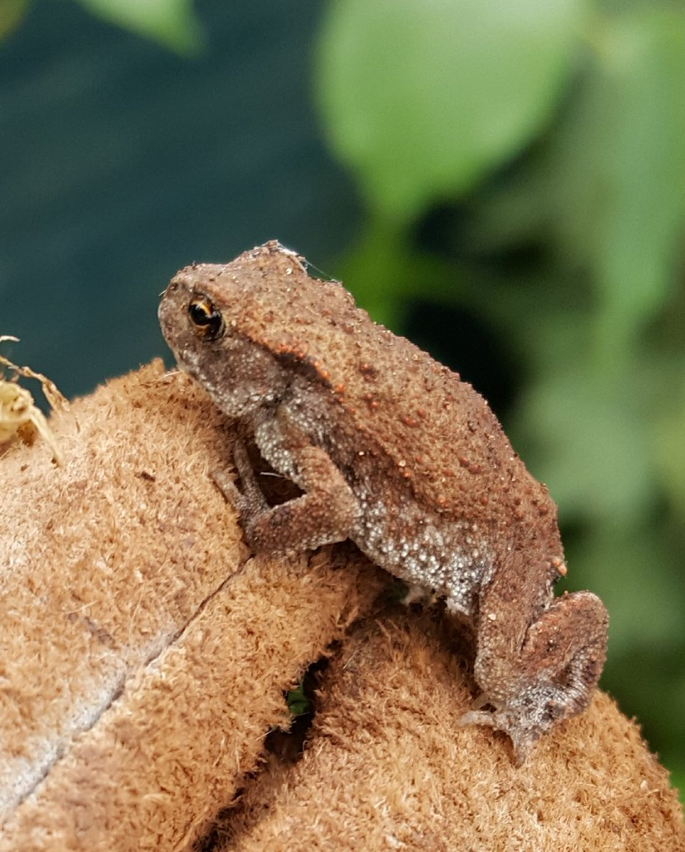 Tiny toadlet on the tip of my glove in my #Somerset garden. Pleased I noticed it whilst digging!! Perfect little creature.   #365DaysWild #staywild @Team4Nature300 @SomersetWT @ARC_Bytes @froglifers<br>http://pic.twitter.com/AsSFaKcTUj