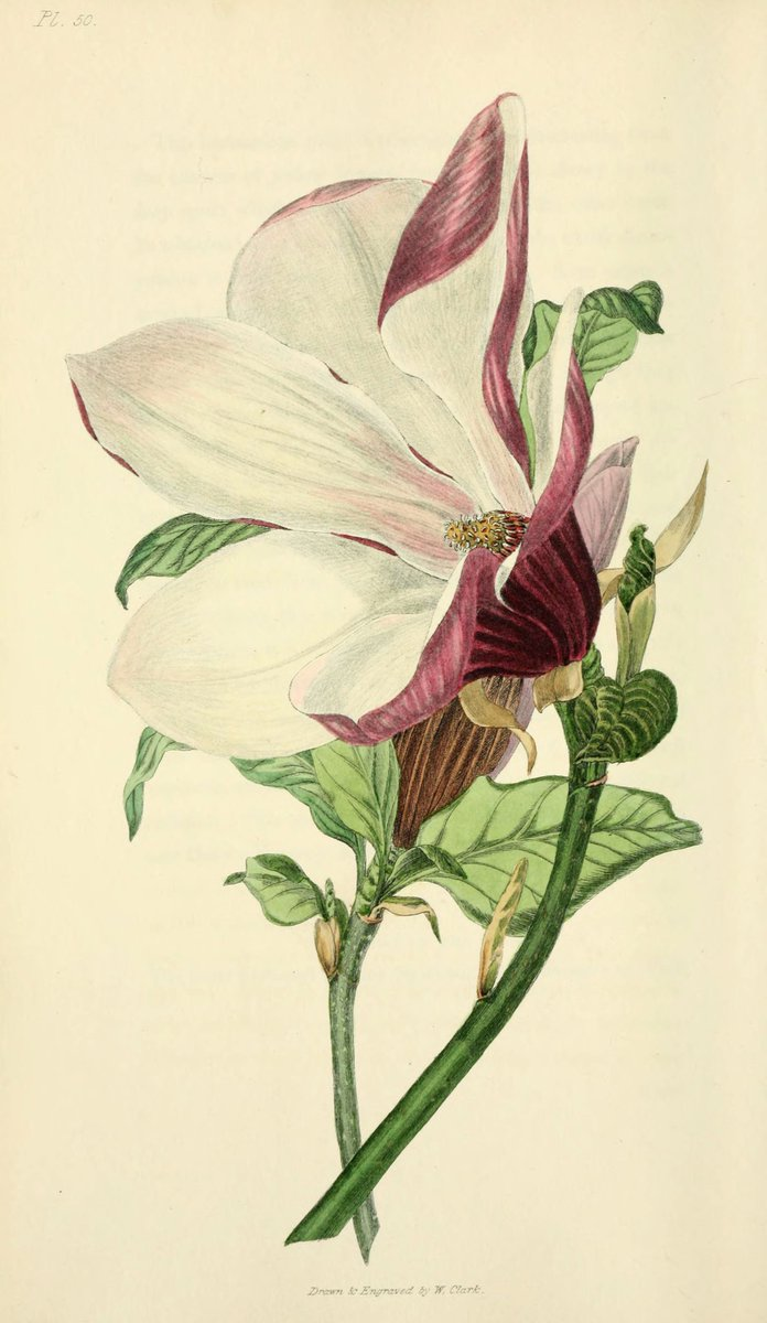 Purple #Magnolia (Magnolia liliiflora) for #FloraFriday! #SciArt by William Clark for Richard Morris, Flora Conspicua (1826). View more in @BioDivLibrary with thanks to the Mertz Library of @NYBG for digitizing:  http:// ow.ly/37zj309EcLL  &nbsp;   -- #botany #botanicalart #magnolias<br>http://pic.twitter.com/vvNOxYSXT7