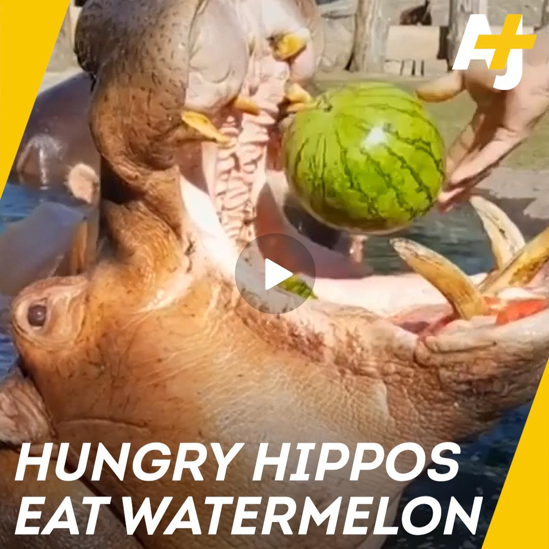 30 seconds of hippos eating watermelons. That is all.  🍉