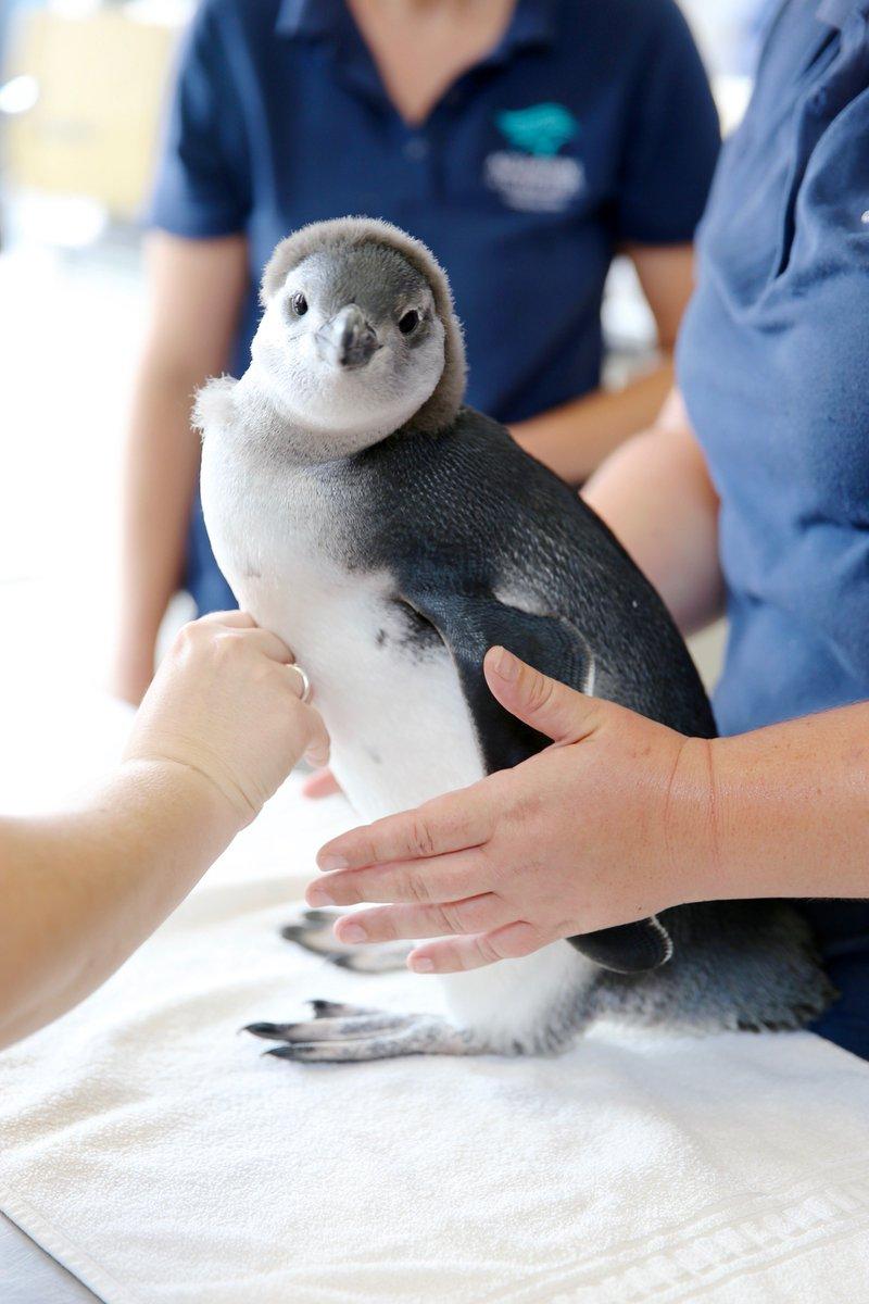 Penguin chicks blood determine sex