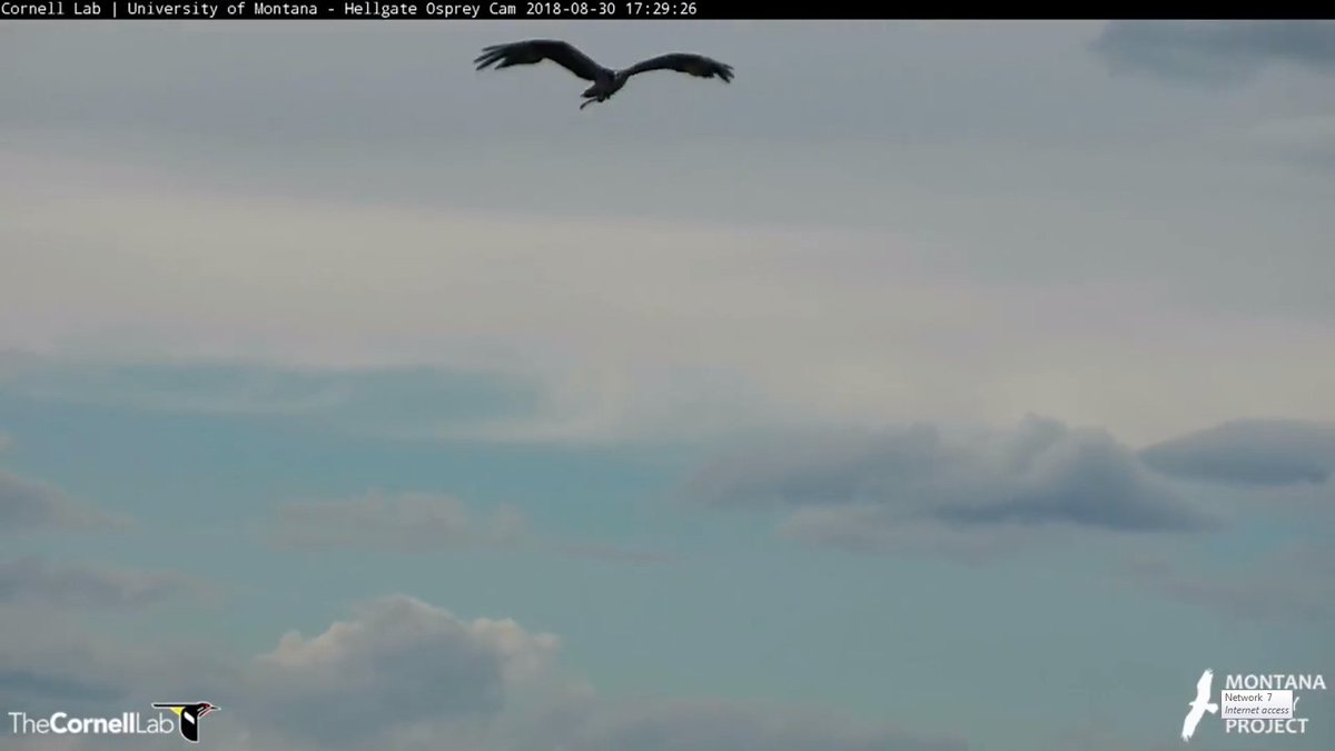 Hellgate Osprey on Twitter: