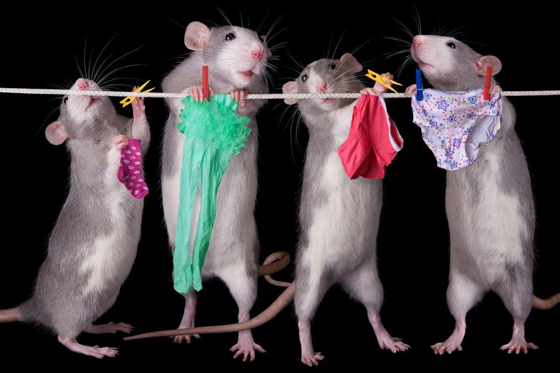 меня уже картинки с мышами смешные день рожденья желаем