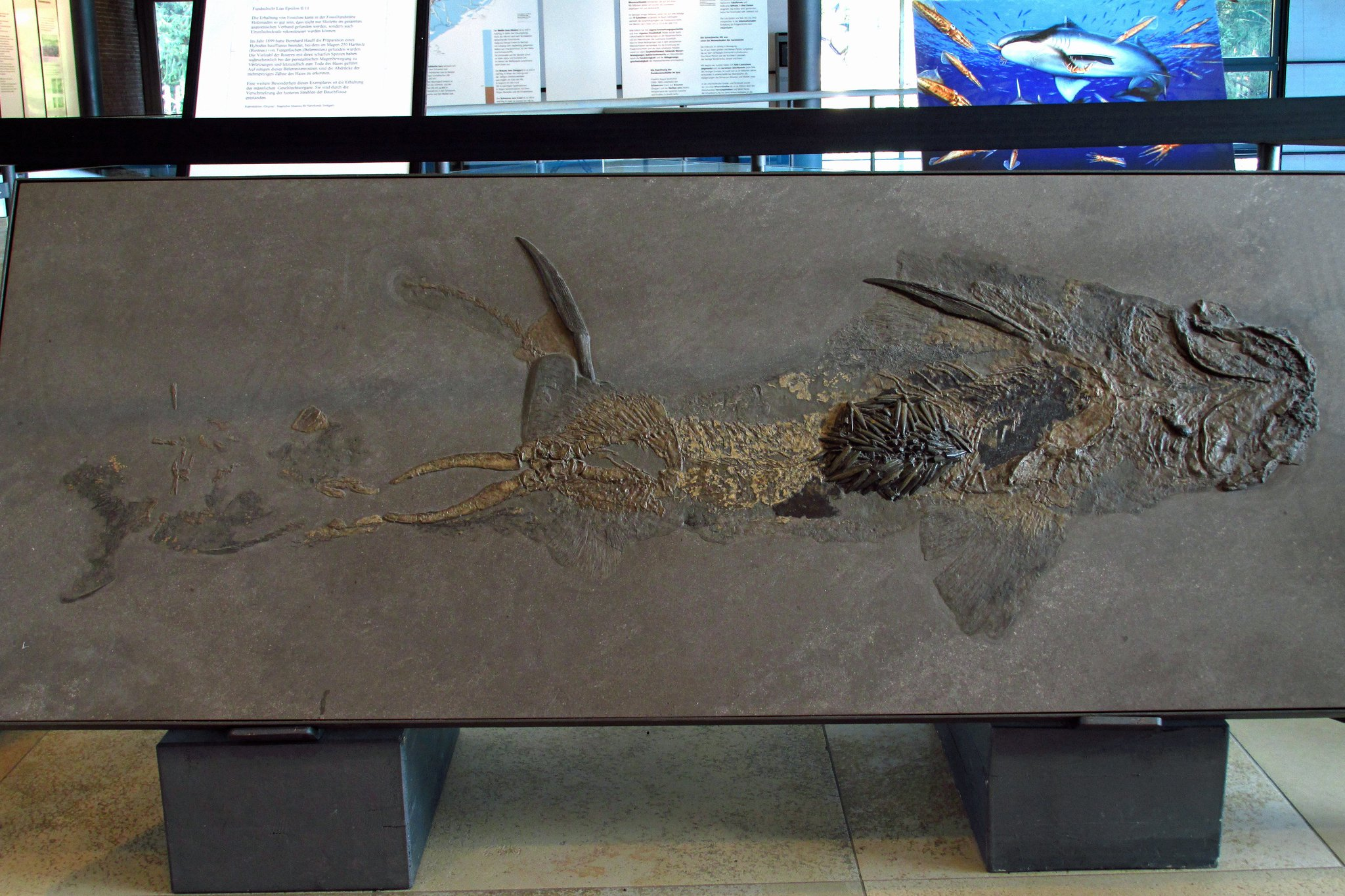 "Sven Sachs on Twitter: ""Skeleton of Hybodus hauffianus, a shark from the  Lower Jurassic Posidonia Shale of Holzmaden (Germany), containing  belemnites as stomach content. On display at the Urweltmuseum Hauff in  Holzmaden. #"