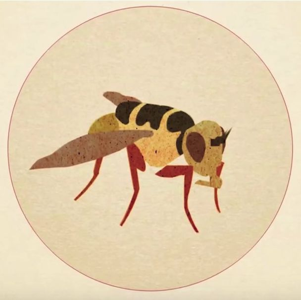 Usually, people try to get rid of insects. The reason why five million of these fruit flies are being bred every week will amaze you!