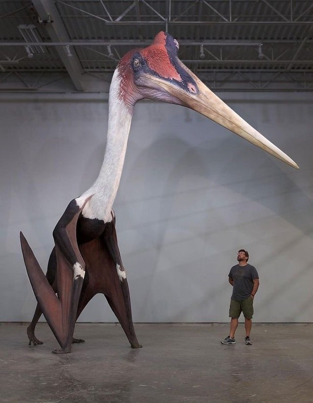 Quetzalcoatlus Northropi model next to a 1.8m (5 ft 10in) man. The largest known flying animal to ever exist. <br>http://pic.twitter.com/7w3jmt70TW