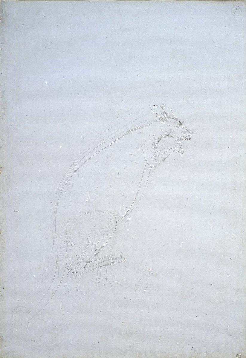 Sydney Parkinson Kangaroo Natural History Museum London