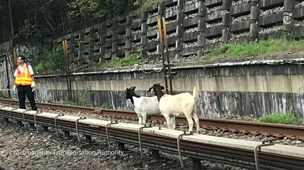 Two white goats with brown heads spent the morning trotting along the N train line in Brooklyn  https:// nyti.ms/2Bt2rXR  &nbsp;  <br>http://pic.twitter.com/8tq7pAr4Jv