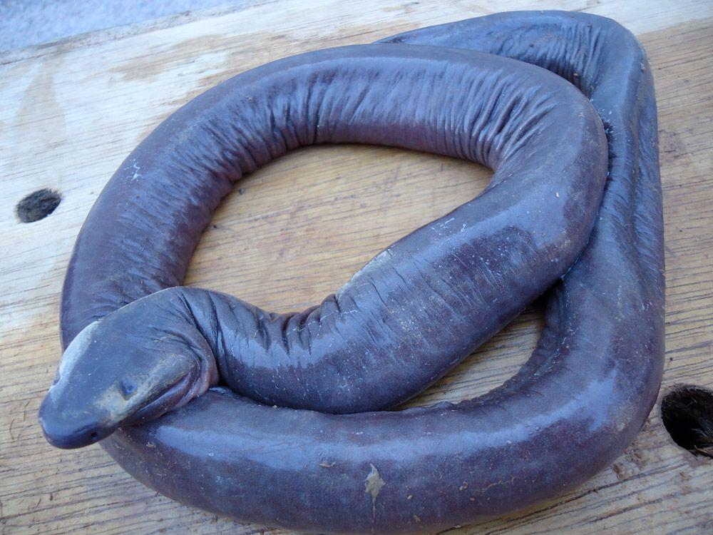 șarpe penis