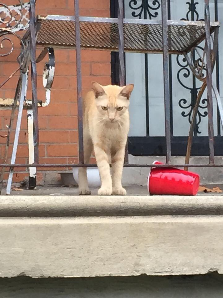 This ginger fellow turned up at 51st and Walton #philadelphia. He's timid, but not feral. No collar or tags and very talkative. We want to bring this little guy inside but are out of #foster spaces. Do you have any room to house this ginger boy?<br>http://pic.twitter.com/NseEffODuc