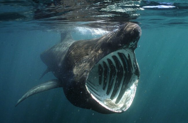 Basking Sharks&#39; scientific name, Cetorhinus maximus, has a cool root meaning. Keto = sea monster/large fish, rhinos = nose, &amp; maximus = greatest, so all together, Basking Sharks are the GREATEST NOSE SEA MONSTER! I think it&#39;s fitting. #SharkScience #EtymologyMonday<br>http://pic.twitter.com/3X2BnbS3EJ