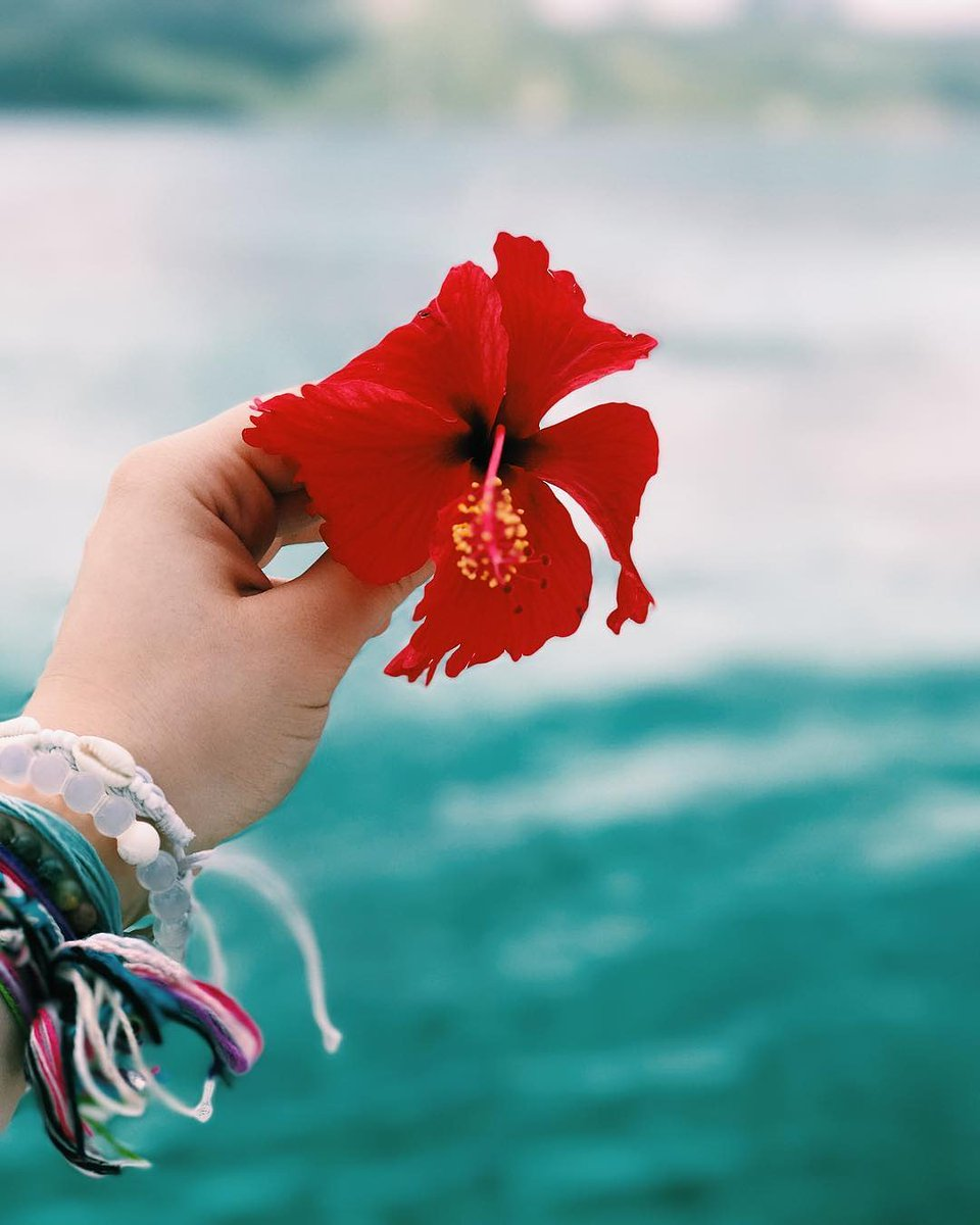 Guana Island On Twitter Did Your Red Hibiscus Flower Make It