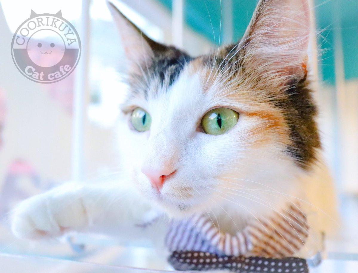 キャットウォークでゴロンとしているサツキちゃん🐱✨ 「にゃっほ〜🌸みんにゃ元気してる〜?」 . SATSUKIs chilling on the cat walk🌴 Hi, my sunshine💕 . #空陸家渋谷スペイン坂店 #猫カフェ #ふわもこ部 #ねこのきもち #ねこもふ部 #catcafe #猫好き #catstagram #NEKOくらぶ #CatsOfTwitterの