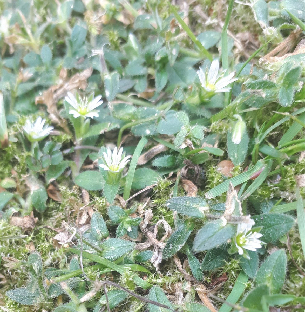 Groweatgift on twitter the evil plant killers came round to mow i love the feisty flowers that survive regardless self heal daisies chickweed and a new tiny white one i dont know but am very happy about mightylinksfo