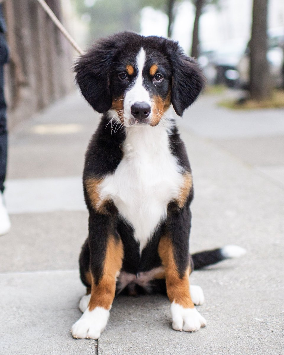 The Dogist On Twitter Sequoia Bernese Mountain Dog 4 Mo