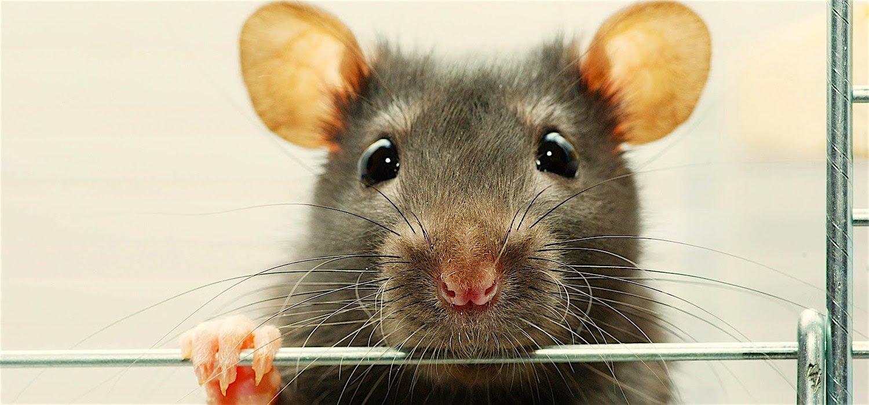 Открытки, смешные картинки крысят