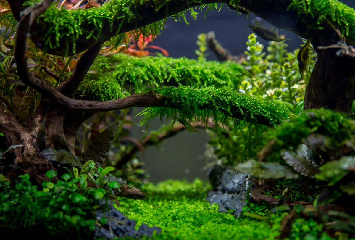 Co2art Co Uk On Twitter Check Out This Amazing Jungle Style Aquascape From Aquascaper Tommy Vestilie It Is Perfectly Names The Enchanted Forest Jungle Aquarium Aquascaping Enchantedforest Anubiaspetite Micranthemum Alternanthera