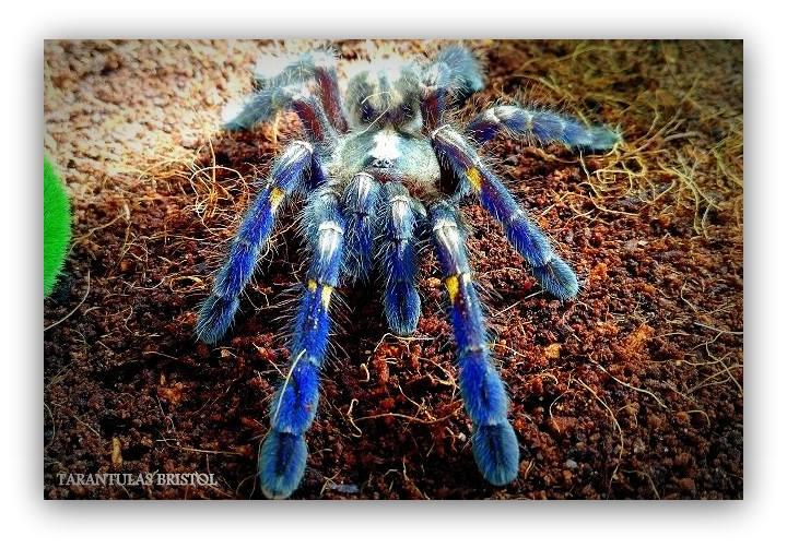 tarantulas bristol tarantulasshop twitter