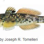 Image for the Tweet beginning: Species Alert – Round Goby