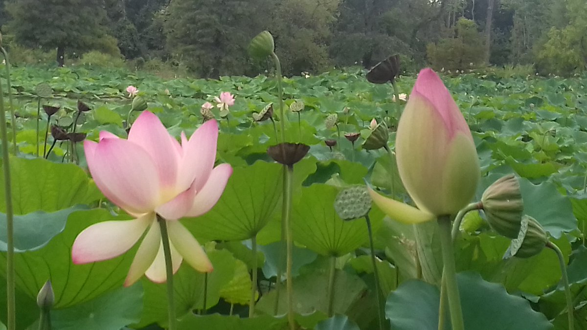 Terry Oconnor On Twitter Lotus Flowers By The Anacostia River