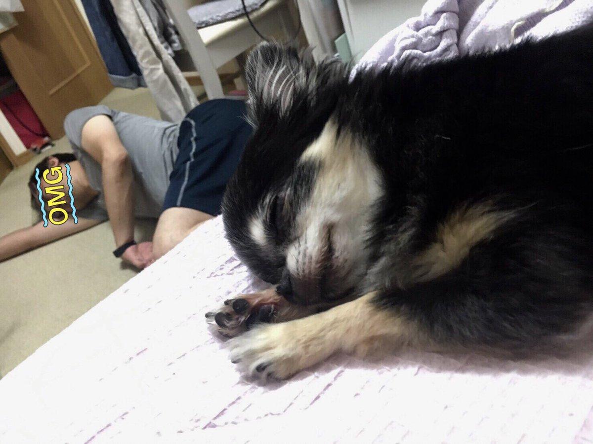 Resultado de imagen para chihuahua 犬 私のベッドで眠っている