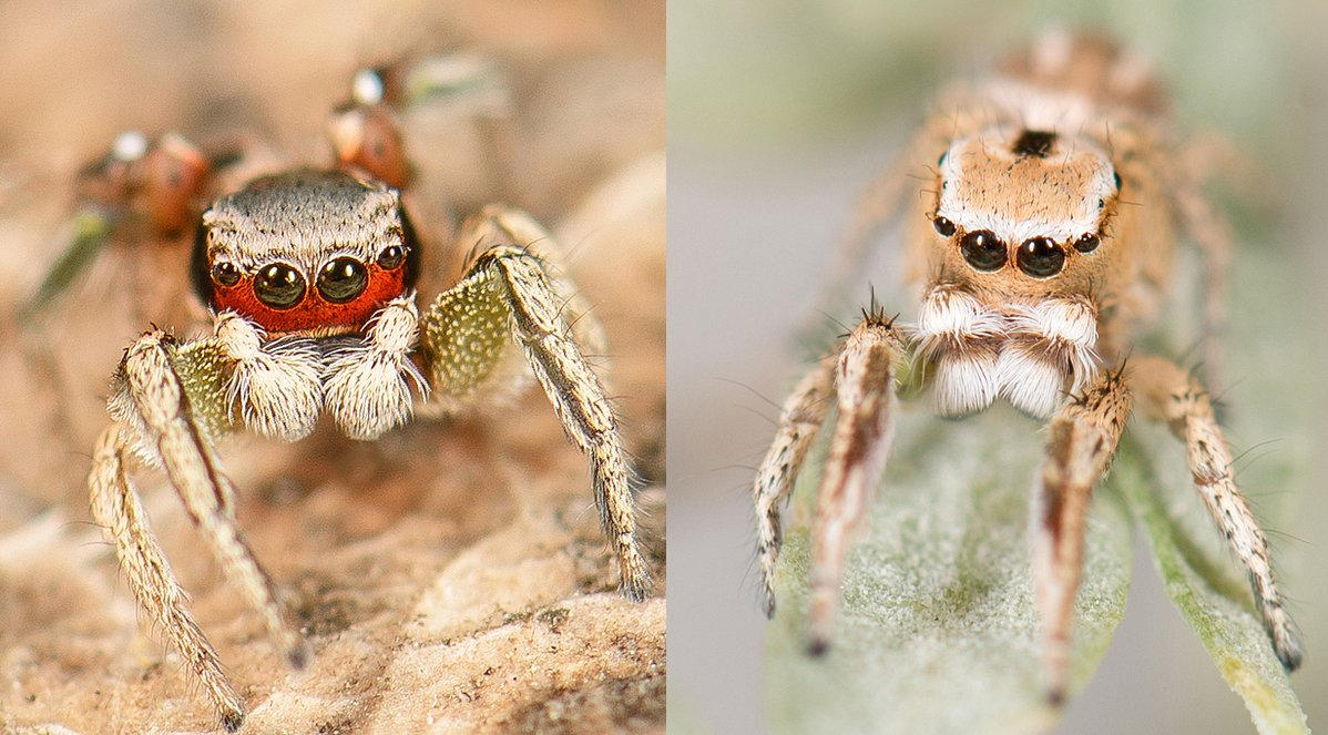 Postdoc needed to conduct integrative phylogenomic studies of introgression in spectacular Habronattus jumping spiders. In sunny San Diego, #NSFfunded (up to 3 years), LOTS of fieldwork, collaborative with @WayneMaddison and @kiyote00. Please RT twitter.com/evoldir/status…