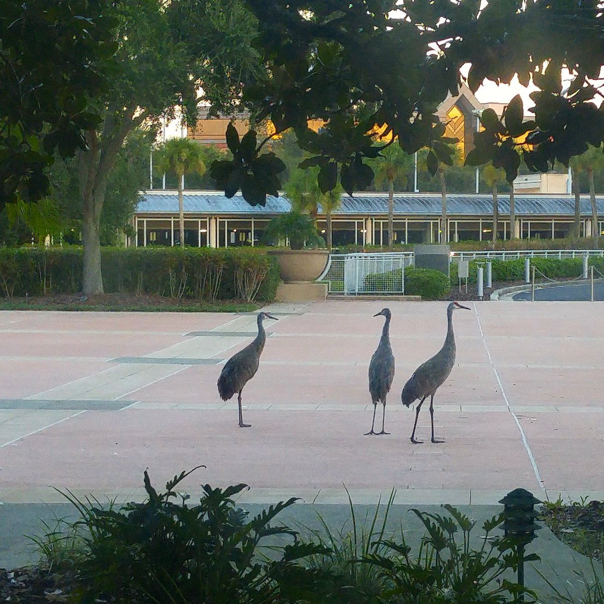 Resident family at the office here in @CityofTampa . #LifeAtCiti #FloridaLife #SandhillCranes