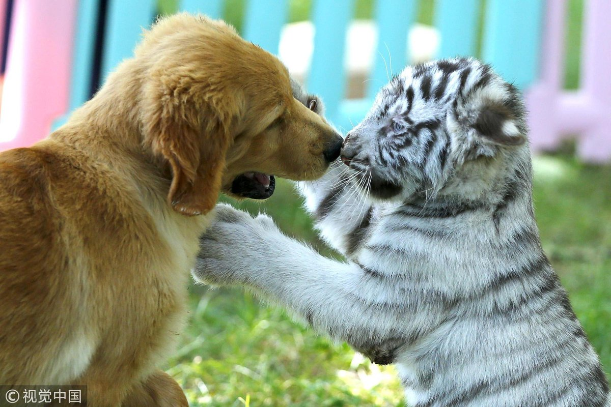 Best friends forever: A golden retriever is seen playing with a white tiger at the Beijing Wildlife Park on Aug 23. They have been friends since they were fed by a same golden retriever mother